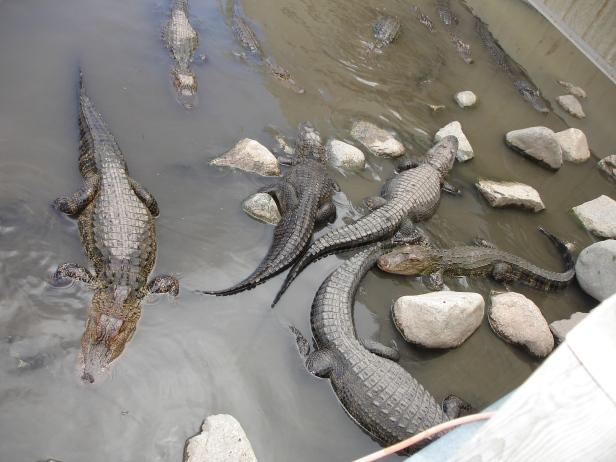 8-little-gators