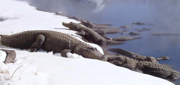 colorado-gators-gators-in-the-snow-e1392314291449-1160x550