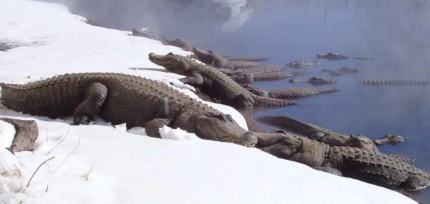 colorado-gators-gators-in-the-snow-e1392314291449-1160x550
