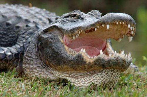 real-gator